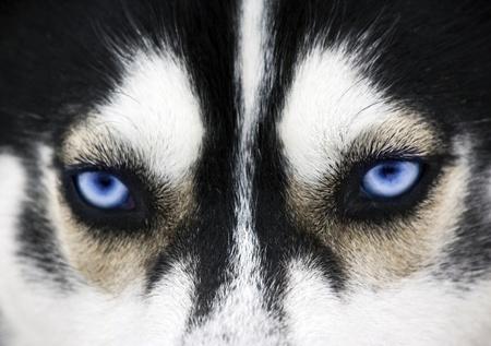 lobo: Cerrar de ojos azules de un perro