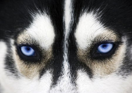 eye closeup: Close up on blue eyes of a dog