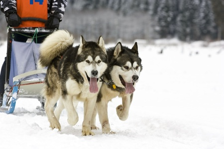 Dog-sledding with huskies  photo