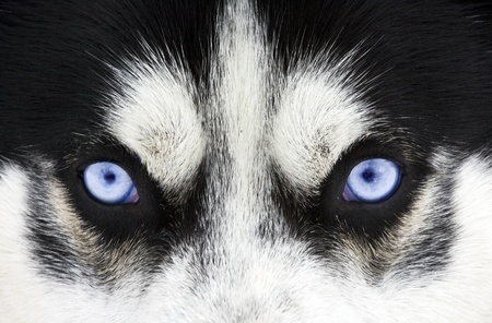 Close up on blue eyes of a dog photo
