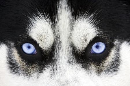 the wolf: Primo piano sugli occhi azzurri di un cane