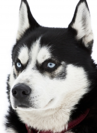 Portrait of a siberian Husky dog photo