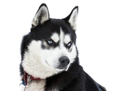 Portrait of a siberian Husky dog Stock Photo