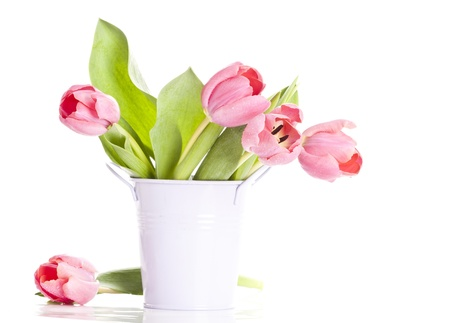Pink tulips on white background  photo