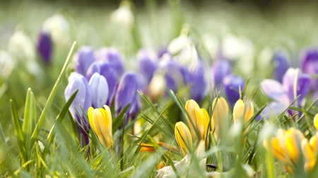 Spring field with crocus flowers  photo