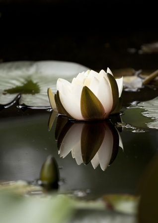 White water lily in a dark pond photo
