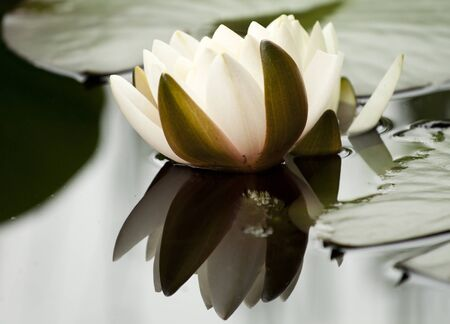 White water lily in a dark pond Stock Photo - 20462009