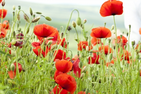 Poppies on green summer field in the sunset Stock Photo