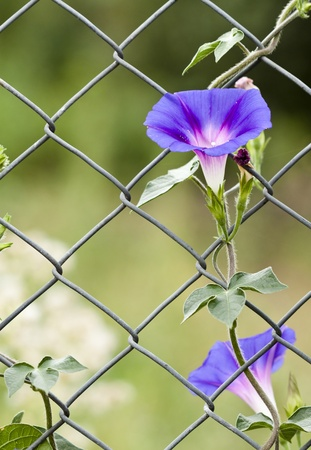 old glory: Morning glory growing up a fence