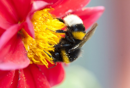 Bumble bee pollinateing flower photo