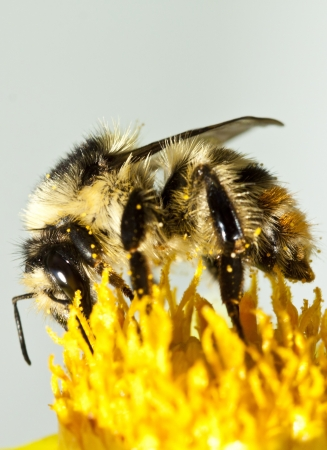 Close up on a honeybee sitting on wild flower photo