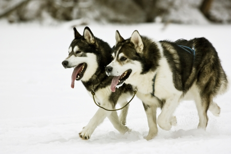Snow dogs, huskies running Stock Photo - 23568380