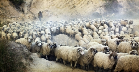 Vintage photo of shepherd herding his flock of sheep