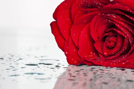 Red rose covered with dew photo