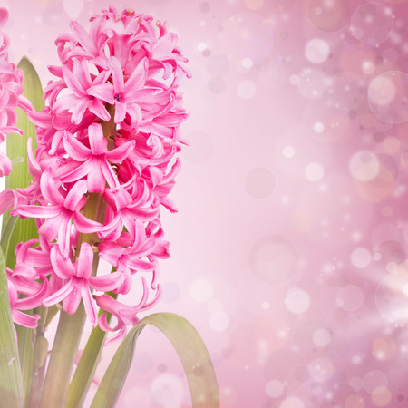 Pink hyacinth on abstract spring background  photo