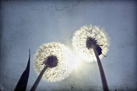 Vintage photo of dandelions and blue sky  photo