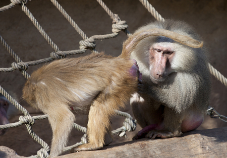 Portrait of friendly baboon photo