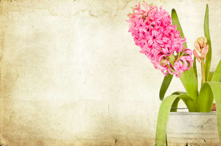 Pink hyacinth on vintage background photo