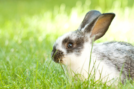 bunny rabbit: Rabbit bunny baby in green grass in the garden