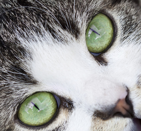 close up eyes: Close up on a cat s green eyes Stock Photo