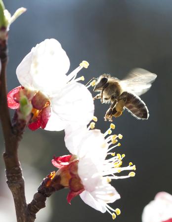 Honey bee enjoying peach blossom on a lovely spring day Stock Photo - 27123656