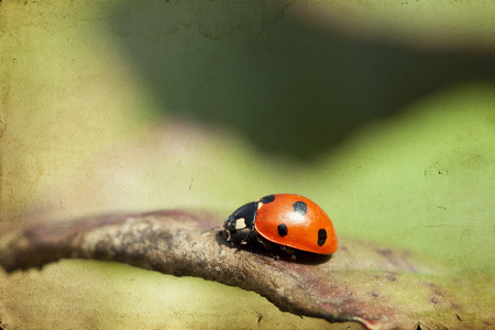 Close up on Ladybug on green leaf photo