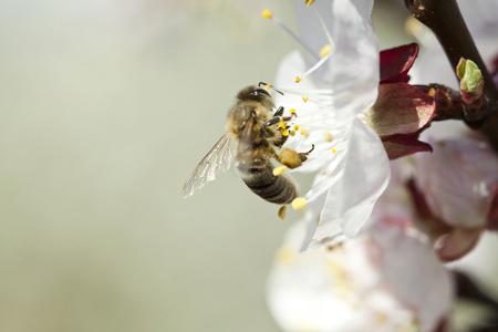 Honey bee enjoying peach blossom on a lovely spring day photo