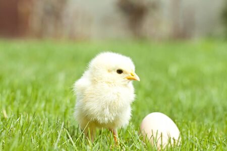Easter chicken and egg on green grass photo