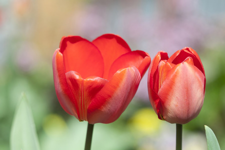 Blooming Red tulips in the garden photo