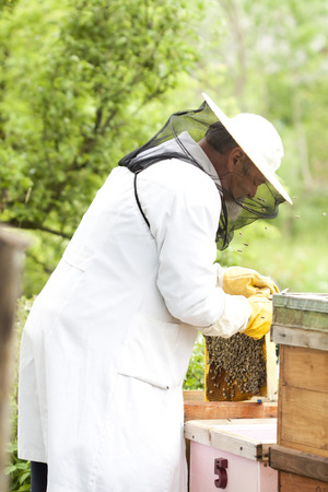 apiarist: Working apiarist inspecting the hive
