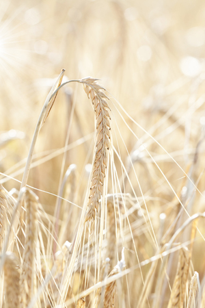 Ripe wheat sowing in the summer  photo