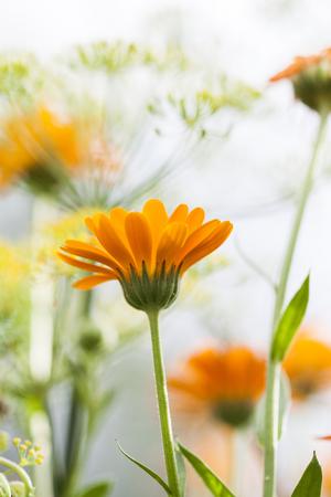 marigold: Marigold (Calendula officinalis) Stock Photo