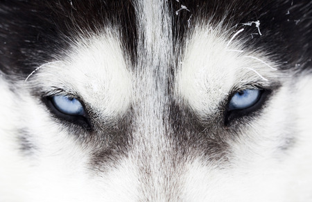 Close up on blue eyes of a husky dog