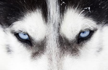 look: Close up on blue eyes of a husky dog