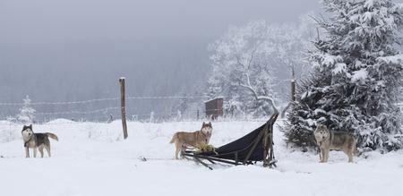 huskys: Siberian Huskys waiting to start the ride in the snow Stock Photo
