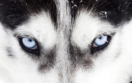 Schließen Sie oben auf den blauen Augen eines Husky-Hund