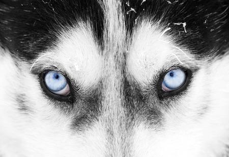 husky: Close up on blue eyes of a husky dog