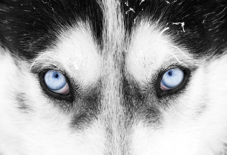 close up eyes: Close up on blue eyes of a husky dog