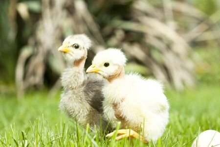 pullet: A few days old chicken in the green grass - spring concept