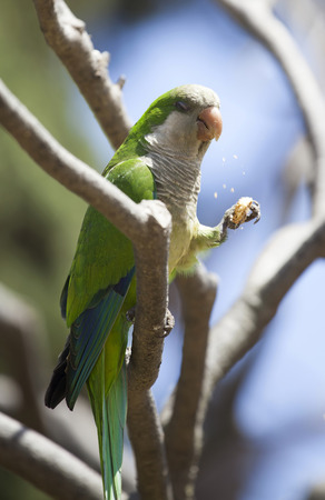 quaker: Green Quaker Parrot on a tree
