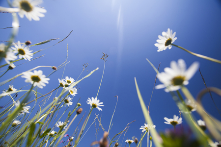 primavera: Margaritas blancas hermosas en el campo y el cielo azul Foto de archivo