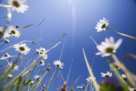 Schöne weiße Gänseblümchen auf der Wiese und blauer Himmel