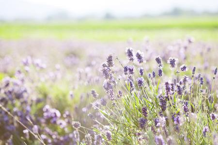 flor de lavanda: Lavanda en el campo