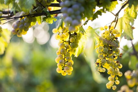 white grape: Ripe white grape bunch on the vine in the sunny afternoon