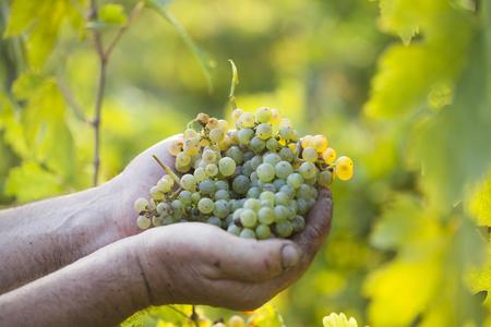 uvas: Harvest.Farmers manos con uvas reci�n cosechadas en el vi�edo de sol