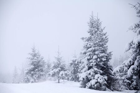 snowy background: Snow covered pine trees in the mountains