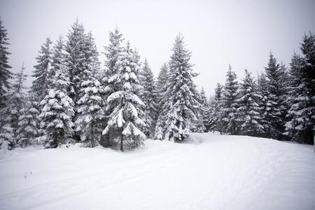 abetos: Camino cubierto de nieve en el bosque de invierno