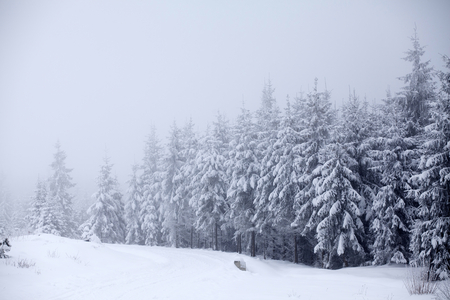 Snow covered pine trees in the winter mountains