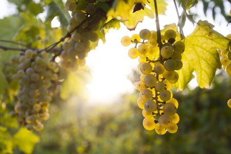 vi�edo: Maduro blanco racimo de uva en la vid en la tarde soleada