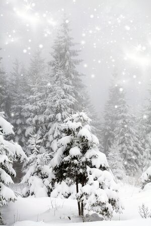 frost covered: Frost covered fir trees in the snowfall Stock Photo